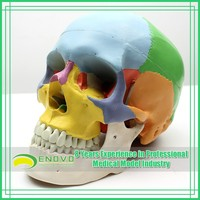 Tablets 3D Natural Size Model Colored Bones Human Skull Model Medical Anatomical Skull Model