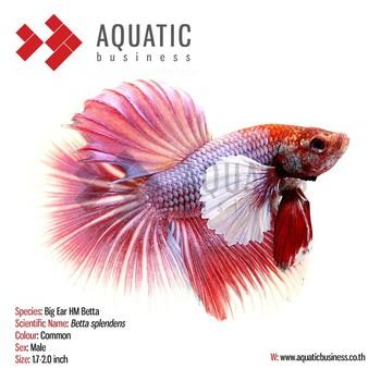 Big ear hm betta aquarium fish tropical fish buy for Best place to buy betta fish online