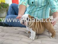 Pure English Bulldog Puppies available for sale.