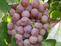 2015 new crop chinese red globe grapes with best price