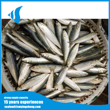 Hot selling light seine Frozen sardine for Tuna bait
