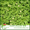 white clover seeds/Trifolium repens L seeds/forage grass seeds