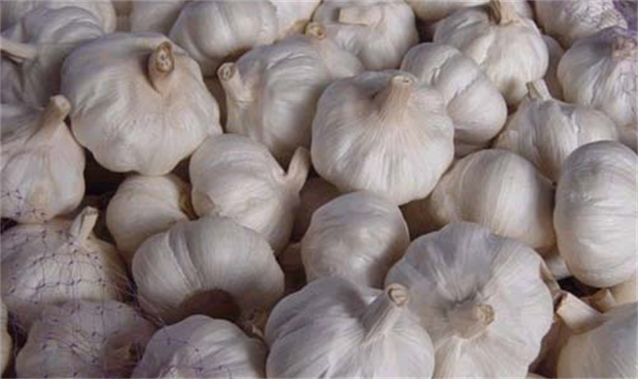 fresh pure white normal white natural fresh garlic exporter