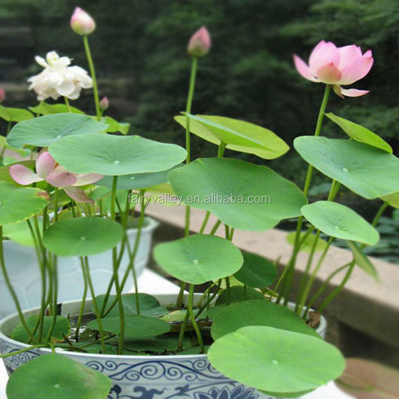 Blue White Pink Yellow Purple Red Lotus Flower Seeds For Growing