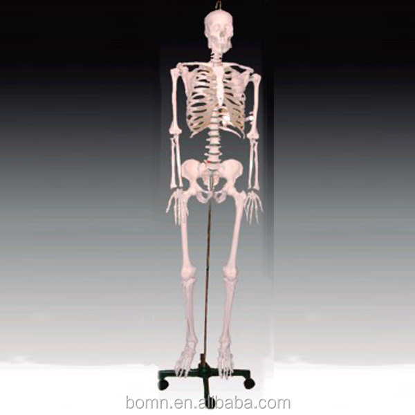 Medical science human body parts 42CM tall bone skeleton anatomy model