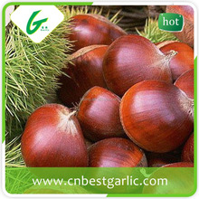 2013 beautiful chestnut for American market