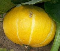 Yellow Planting hybrid pumpkin seeds