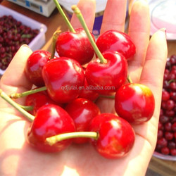 Fresh canned cherry fruit with good quality and color for import