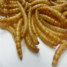high protein bird food of dried mealworm in tub