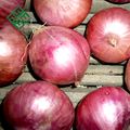 farm fresh red onions for sell