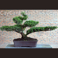 Beautiful Podocarpus Macrophyllus Bonsai Tree (Yew-Pine, Japanese Yew)