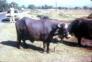 The Nili-Ravi Buffalo