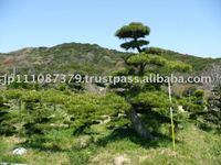 Pinus thunbergii Ornamental tree