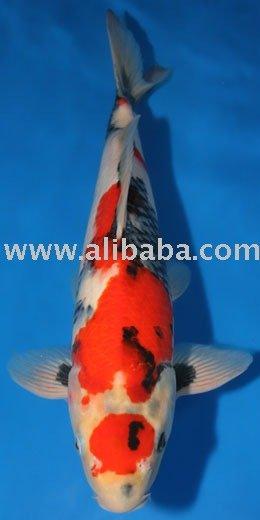 peces koi otros productos para mascotas identificaci n del ForPeces Koi Baratos