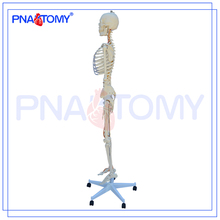 PNT-0104 Skeleton Model,Artificial Skeleton,Skeleton Anatomy Model