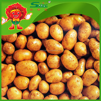 Top Quality Fresh Potatoes Packed in Mesh Bag