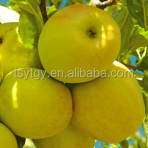 Fresh style and pome fruit product type fresh golden delicious apple