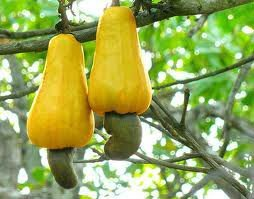 Fresh Raw Cashew Nut in Shell