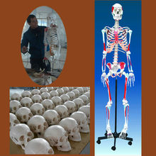 Human skeleton model with colored muscle life size