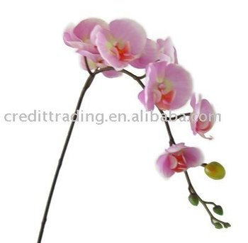 {orquídea phalaenopsis|orquídea phalaenopsis amabilis|orquídea phalaenopsis amarela|orquídea phalaenopsis azul|orquídea phalaenopsis mini|orquídea phalaenopsis roxa|orquídea phalaenopsis lilás|orquídea phalaenopsis pink|orquídea phalaenopsis significado|orquídea phalaenopsis comprar|como cultivar phalaenopsis|como cultivar phalaenopsis amabilis|como plantar phalaenopsis|como plantar phalaenopsis em arvores|como cultivar orquideas phalaenopsis azul|como cultivar dendrobium phalaenopsis|como cultivar orquideas phalaenopsis em vasos}