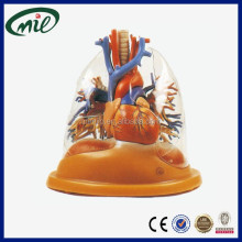 General Doctor Human lung Anatomy model Teaching lung model