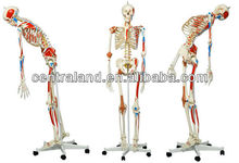 Many size of Human Skeleton Models for sale