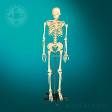 A01-031 Human body parts model 180 cm plastic painted skeleton model