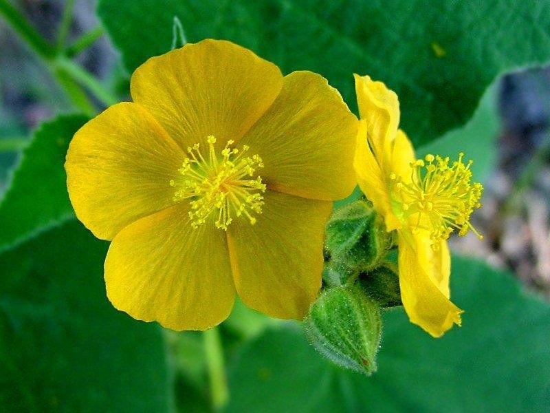 Indian Mallow Herbs