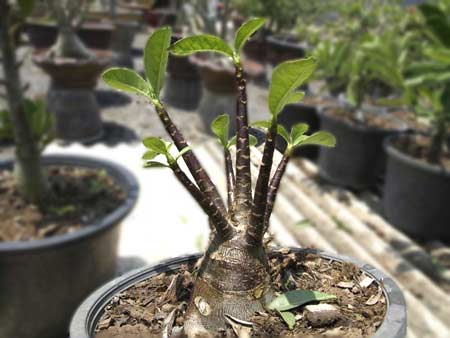 Adenium Arabicum-Super Black Giant Seedling