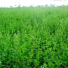 2017 Medicago sativa seeds/ alfalfa seeds/forage grass seeds