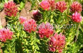 Beauty products Rhodiola Rosea Extract 2% on sell
