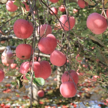 apple mnufacturer exports high quality red fuji of apple fruit