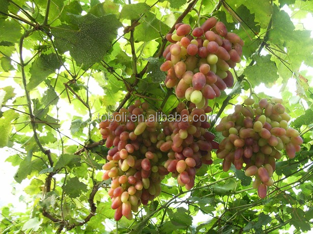 new fruits fresh sweet RedGloble grapes