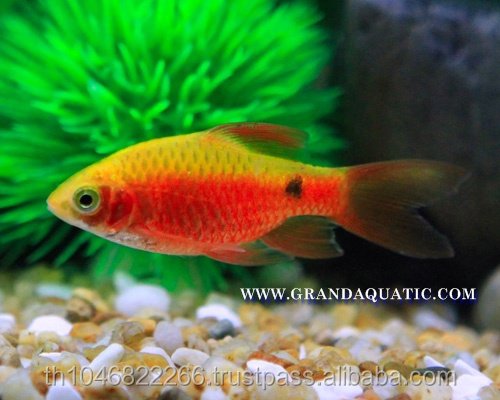 Rosy Barb Fish Farm For Sale and Export
