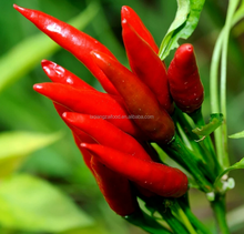 fresh red small capsicum frutescens chilli with best price quality