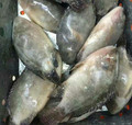 High quality nice frozen good price tilapia