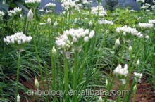 Natura Garlic Chives Extract Powder Garlic chives extract for Male Sex