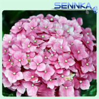 Wide Varieties of Fresh Cut Flowers Fresh Hydrangea Plants For Loving Flowers