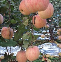 crop 2016 Lord Apple-fuji apple