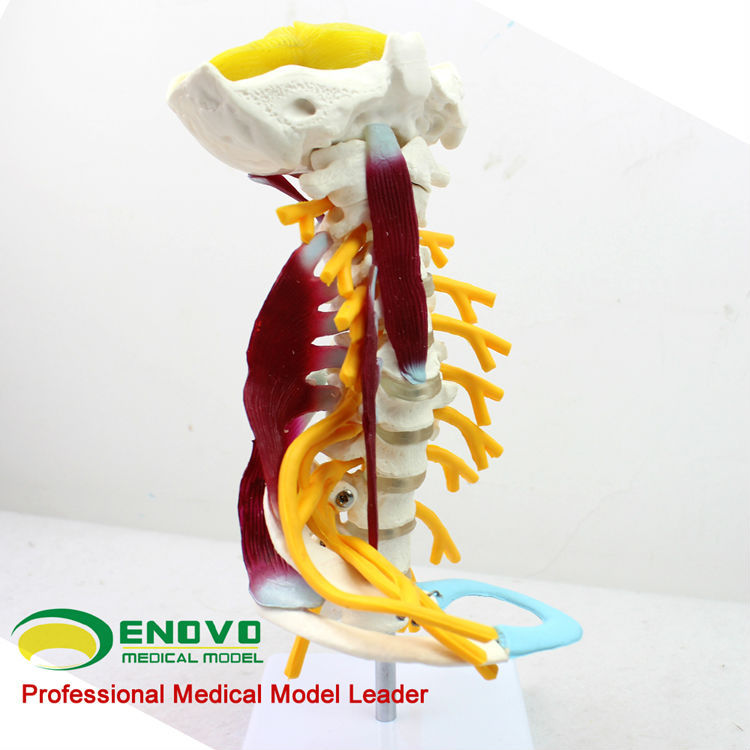 SPINAL SKELETON 12385 Volle Größe Deluxe Halswirbel Muskeln Anatomie ...