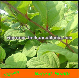 100% natural plant extract:Giant Knotweed Extract Power