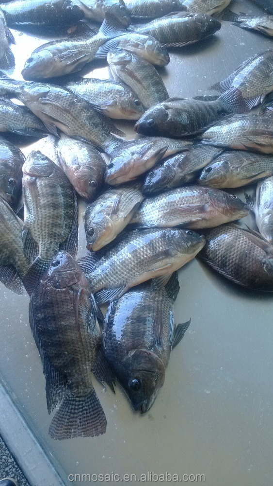 farm raise frozen tilapia fish