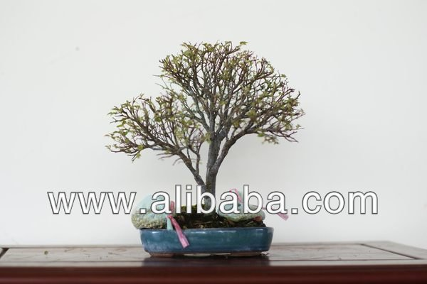Taiwan Bonsai - Japanese Beech (no.1403_24)