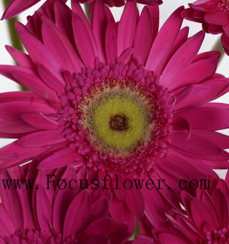 Dignified Real Feel Gerberas Exotic Fresh Cut Flowers for mother's day Plants For Sale from Kunming