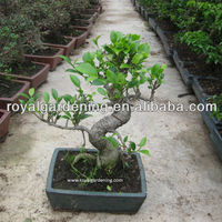 Ficus Microcarpa Bonsai Tree