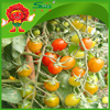 Organic red cherry toamtoes on sale, chinese tomato supplier