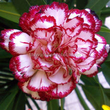 Beautiful Gardening Flower Seeds Carnation Seeds for Planting