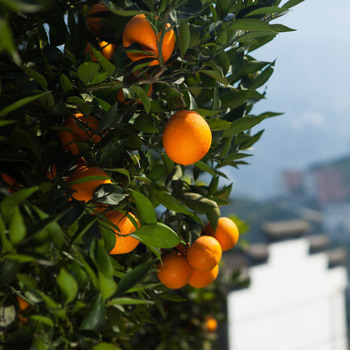 Honey mandarin orange citrus grading plant fruit price