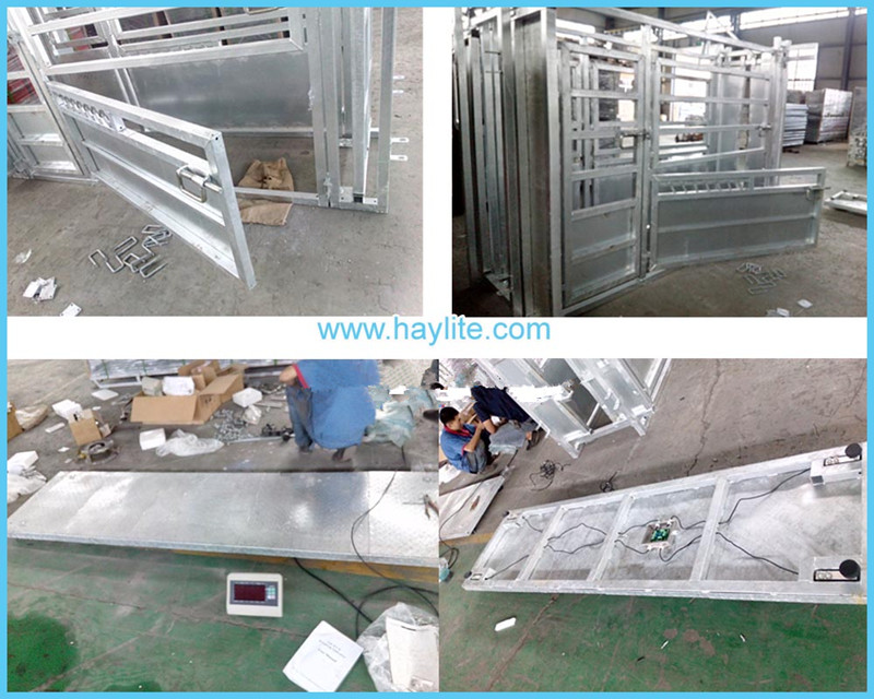 Popular powder coated livestock scale for cattle