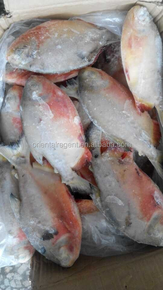 chinese factory frozen red pacu red pomfret fish